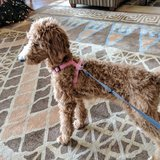 Photo for Walker Needed For 1 Dog (Poodle Puppy) In Bellevue