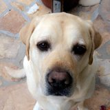 Photo for Care For 8 Year Old English Lab