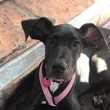 Photo for Pet Sitter For 4 Month Old Great Dane