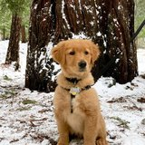 Photo for Dog Sitting For A 4 Month Old Golden Retriever