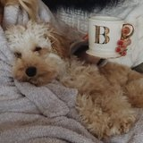 Photo for Part Time Walker Needed For Adorable Mini Goldendoodle