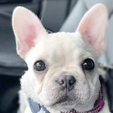 Photo for Pet Sitter For French Bulldog Puppy