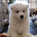 Photo for Walker Needed For 1 Samoyed Puppy In Milpitas