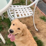 Photo for Looking For A Pet Sitter For 1 Golden Retriever In Clifton