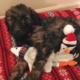 Photo for Looking For A Dog Walker For An 8 Week Old Labradoodle