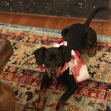 Photo for Stay At Home Or Flexible Schedule Sitter Needed For 1 Dog In Boston