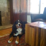 Photo for Sitter Needed For Lovable Bernese Mountain Dog