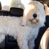 Photo for Goldendoodle Dog Groomer/ Occassional Sitter