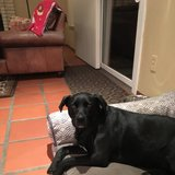 Photo for Sitter Needed For 1 Sweet Black Lab In Alameda