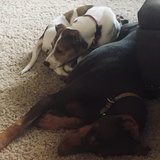 Photo for Job Opportunity/Sitter Needed For 2 Dogs In Milwaukee (near Greenfield Border)