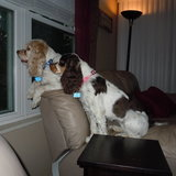 Photo for PET SITTING VISITS (2 DAILY 15-MINUTE VISITS) Needed For 3 Sweet Little Senior Cocker Spaniels