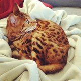 Photo for Sitter Needed For 1 Bengal Cat In Seattle