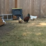Photo for Chicken/rooster Caretaker Needed