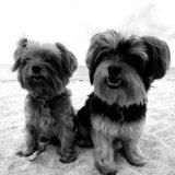 Photo for Pet.Sitter For 2 Loving Good Yorkies