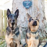Photo for German Shepherds
