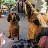 Photo for Sitter Needed For 2 Big Dogs In Tucson