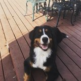 Photo for Looking For A Pet Sitter/walker For My 2 Year Old Bernese Mt Dog Hunter