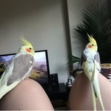 Photo for Sitter For 2 Cockatiels In Downtown Newark