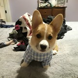 Photo for Petsitter/trainer/walker For Corgi Puppy