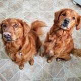 Photo for 2 Goldens Looked After For Long Weekend