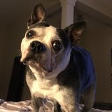 Photo for Frequent Traveler Needs Help With 17 Year Old Boston Terrier In Geneva, Fl.