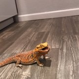 Photo for Need Care For Bearded Dragon While Out Of State!