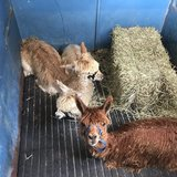 Photo for Sitter Needed For Alpacas, Chickens, And A Pot Belly Pig In Arcadia