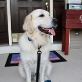 Photo for Seeking A Sitter / Dog Walker For A Lovable Golden Retriever Stamford