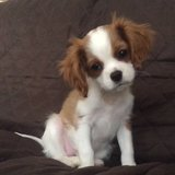 Photo for 3.5 Month Cavalier King Charles Spaniel. She Will Need To Play In Yard And Practice Tricks