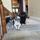 Photo for Walking 2 Shih Tzu Brothers And A Few Minutes Of A Sitter