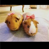 Photo for Looking For A Pet Sitter For 2 Guinea Pigs In Bremerton