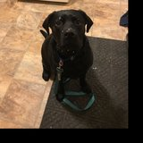 Photo for Puppy Sitter For 1 Lab Puppy In E.Rochester !