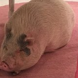 Photo for Sitter Needed For 1 Cat, 1 Pot Bellied Pig In North Port