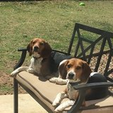 Photo for Walking Beagles
