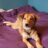 Photo for Evening Dog Walker Needed For Playful, Intelligent Collie Mix