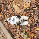 Photo for Dog Walker/Play Buddy For My Morkie!