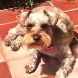 Photo for Sitter Needed For Miniature Schnauzer