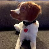 Photo for Dog Walker For Our 5 Mo Brittany Spaniel Puppy; 4 Days A Week (M-Th) From 3/27-6/2 Walker