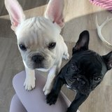 Photo for Sitter Needed For 2 Frenchies In The Gulch In Nashville