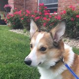 Photo for I Need Someone To Take Care Of My Corgi During The Holiday.