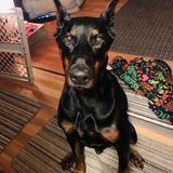 Photo for Looking For A Pet Sitter For Large Doberman Super Friendly