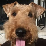 Photo for Airedale Terrier Seeking Friend And House Sitter