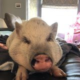 Photo for Sitter Needed For Two Large Dogs, A Mini Pig, & Two Guinea Pigs.