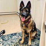 Photo for September Dog Sitter In Bangor For 1 GSD