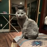 Photo for Sitter Needed For 12 Yr Old Russian Blue In Anchorage