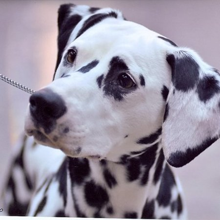 Pet Care Job in Warrenton, VA 20187 - Frequent House Sitting Needed For Dalmatian Kennel - Care.com