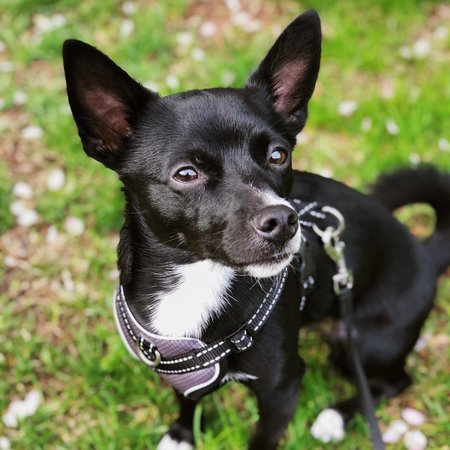 Pet Care Job in Reading, PA 19606 - Dog Walker For 1 Small Dog For 20-30