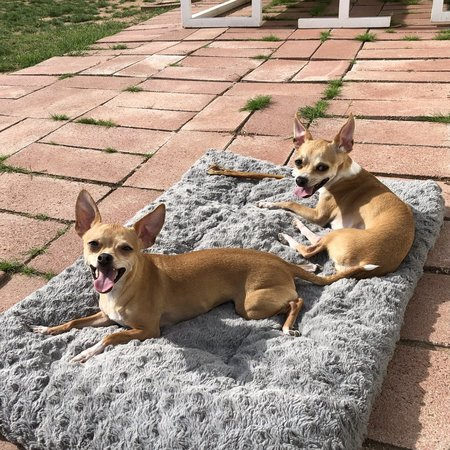 Pet Care Job in Phoenix, AZ 85016 - Dog Walker/Sitter Needed For 2 Small Female Chihuahuas In Arcadia - Care.com