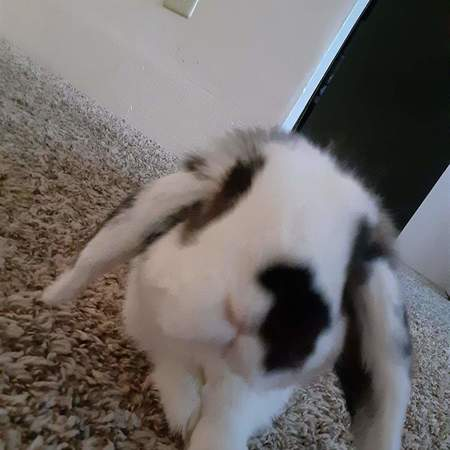 Pet Care Job in Arvada, CO 80002 - Looking For A Pet Sitter For 2 Bunnies In Arvada - Care.com